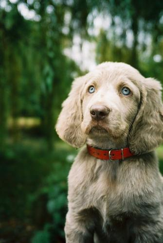 How to Raise and Train a Weimaraner by Arthur Liebers